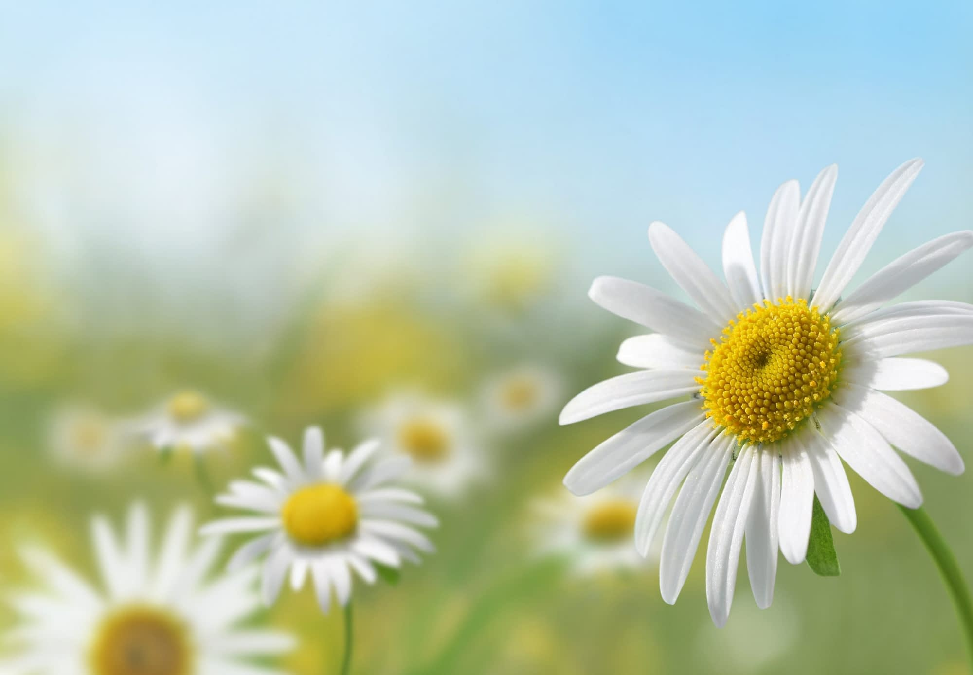 Daisies in a meadow on a sunny day